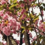 Cherry Cherry Blossoms ♪♫♪